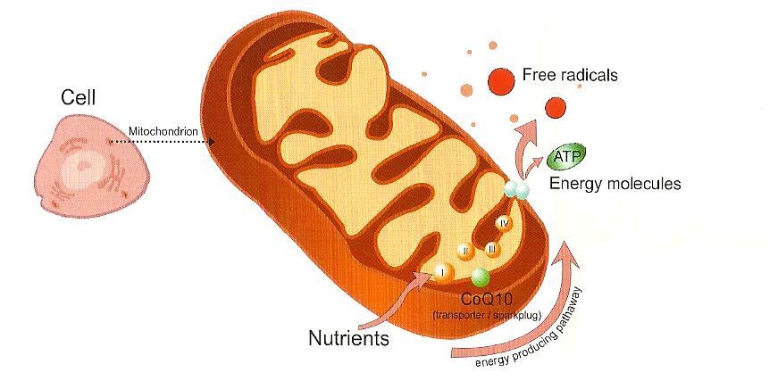 Koenzym Q10 Metasyn metabolicky syndrom